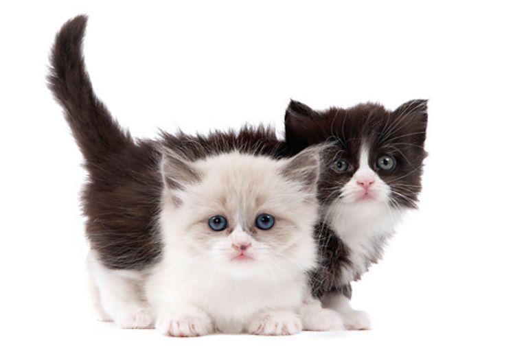 Adopsi Kucing Muchkin
