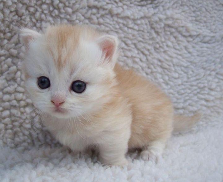 Anak Kucing Muchkin