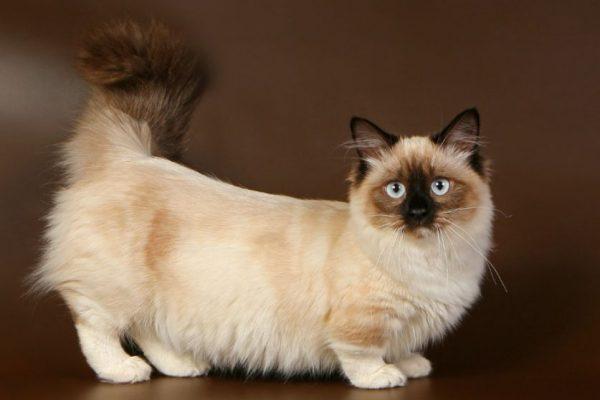 Kucing Munchkin Berkaki Pendek