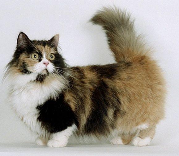 Kucing Munchkin Bulu Panjang