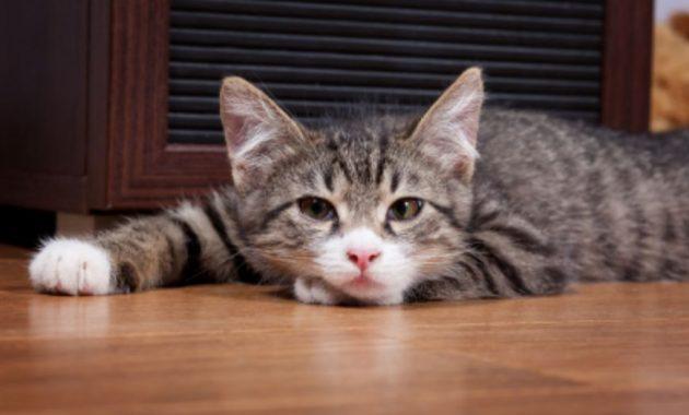 Kucing Terlihat Letih dan Lesu, via vetwest.com