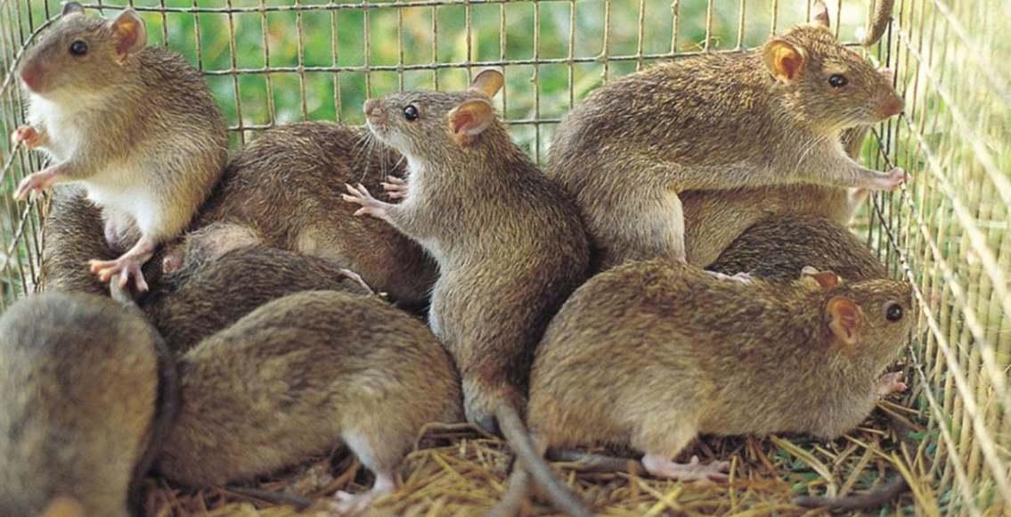 Tikus yang merupakan hama sawah, via bbc.com