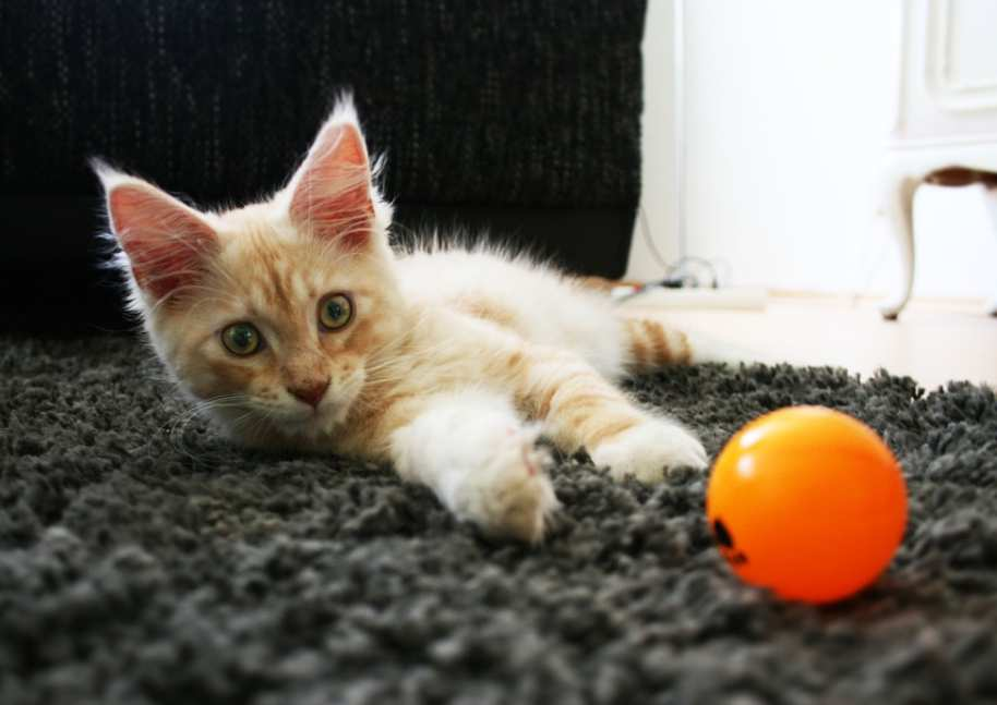 harga anakan kucing maine coon