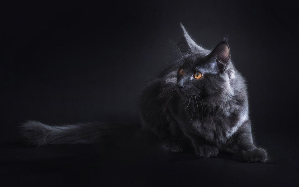 jenis kucing maine coon warna hitam