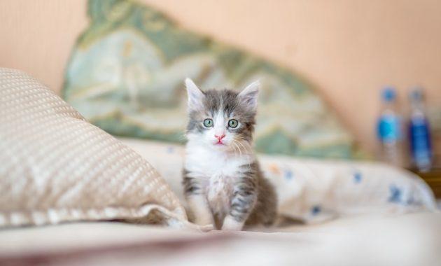 Cara Merawat Anak Kucing Tanpa Indukan Panduan