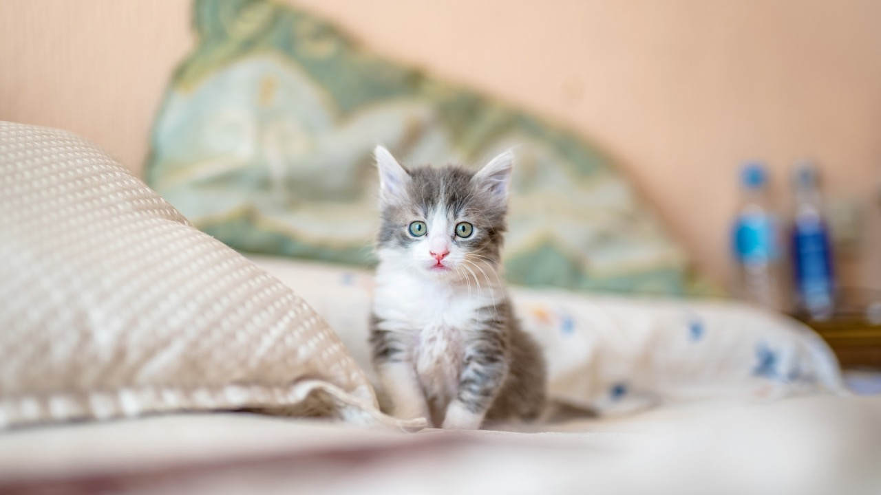 cara merawat anak kucing tanpa indukan dengan baik