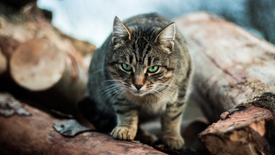 kucing mengeong geram tanda marah