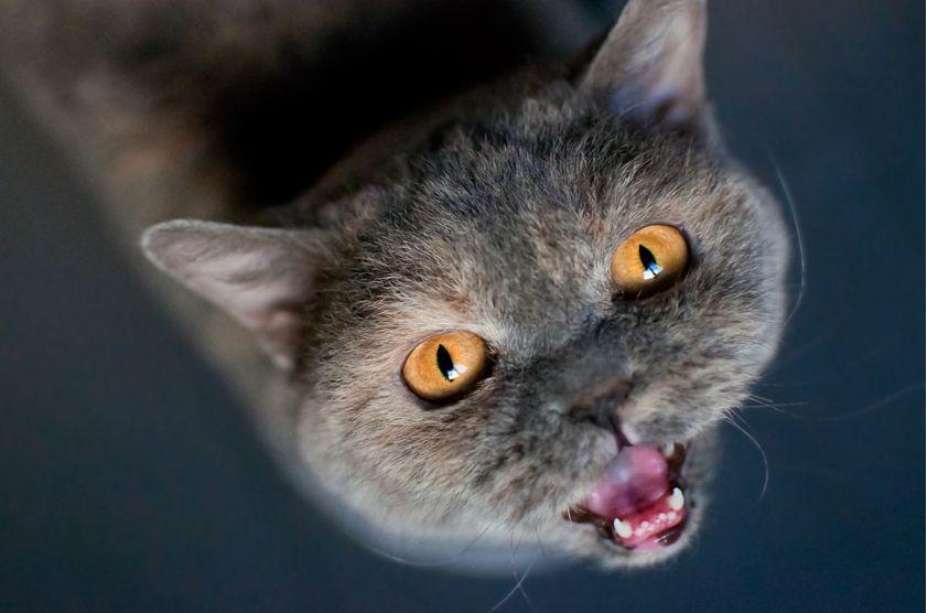 kucing mengeong minta makan