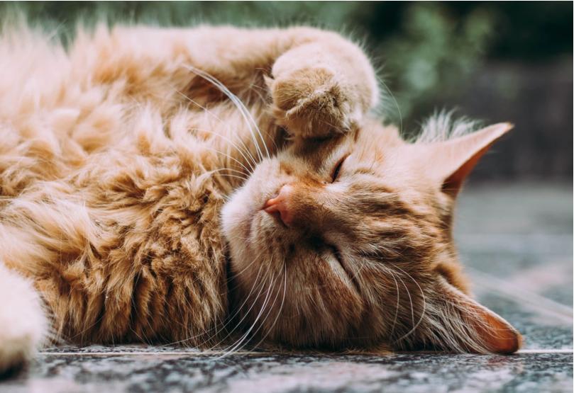 kucing mengeong manja tanda ingin kawin