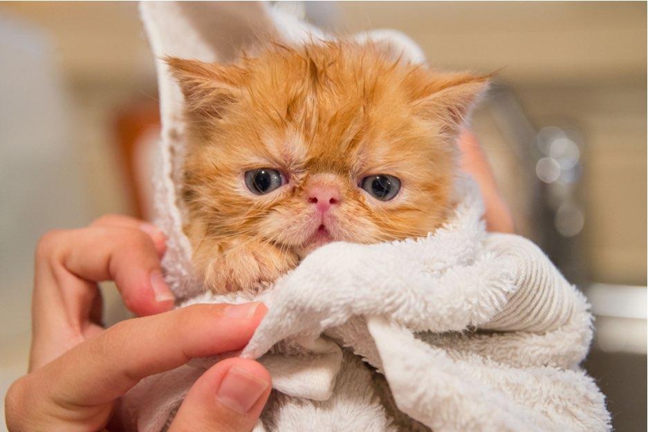 memandikan bayi kucing dengan teratur