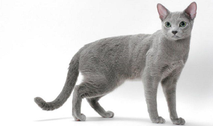 Cara Mewawat Kucing Russian Blue