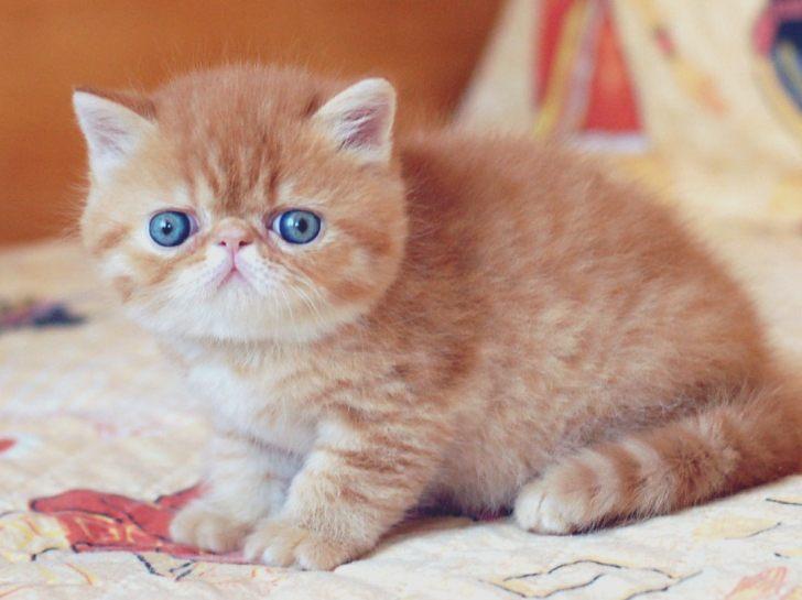 Ciri-Ciri Kucing Exotic Shorthair