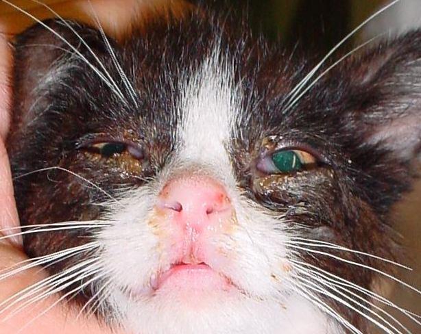 Feline Rhinotracheitis