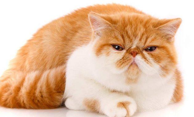Kucing Exotic Shorthair Sejarah Cara Merawat Dan Harga 2020