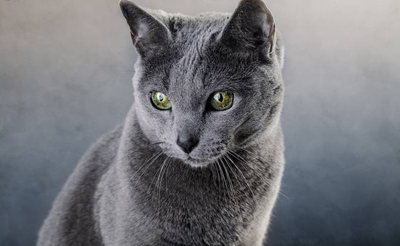 ciri-ciri kucing russian blue