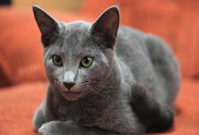 gambar kucing russian blue