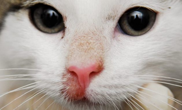 kucing kurapan