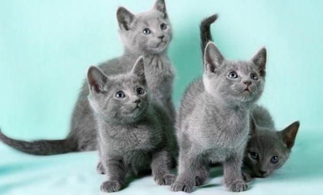Kucing Russian Blue Ciri Makanan Cara Merawat Dan Harga