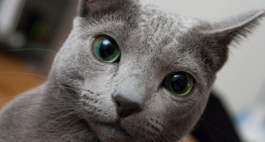 makanan kucing russian blue