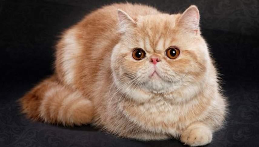 sejarah Kucing Exotic Shorthair