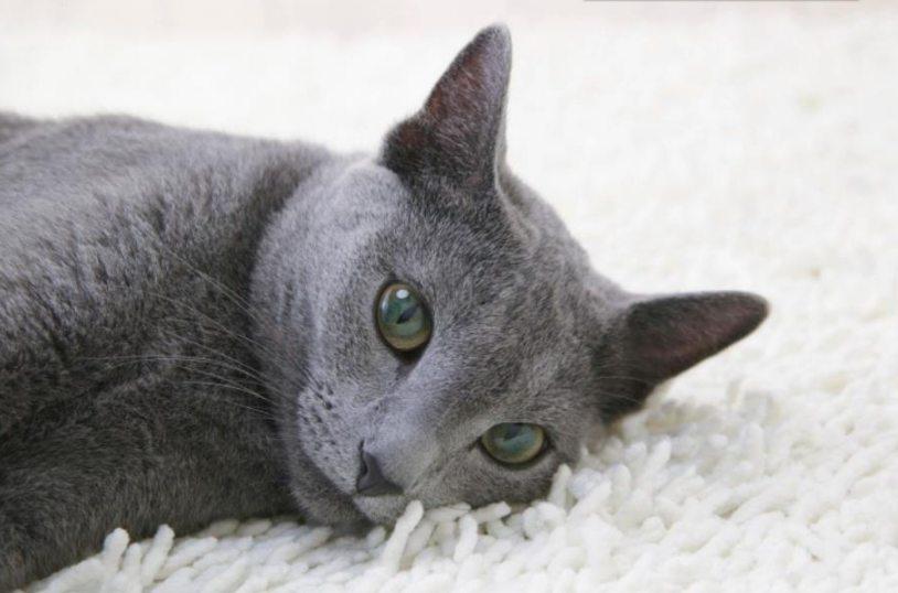 sejarah kucing russian blue