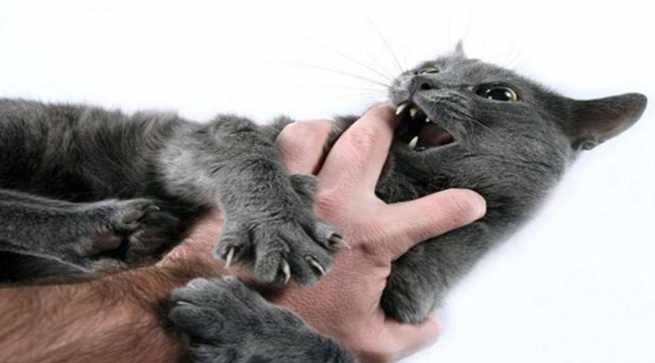 Apa itu Penyakit Cakar Kucing