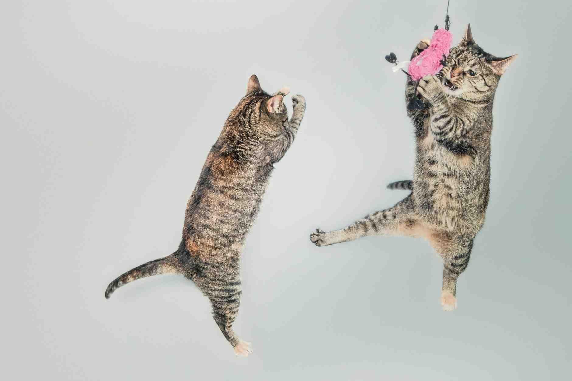 Cara Mengatasi Kucing Susah tidur Sediakan hiburan untuk kucing selama sepanjang hari