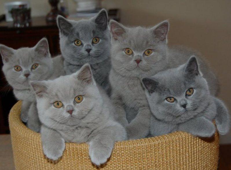 Cara Merawat Kucing British Shorthair