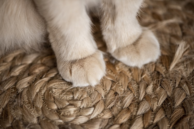 Faktor Risiko Terkena Penyakit Cakar Kucing