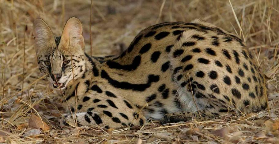 Harga kucing savannah