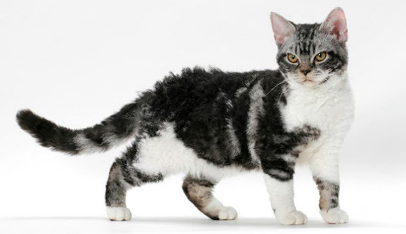 Kucing American Wirehair