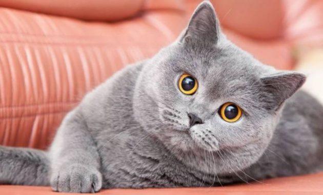 Kucing British Shorthair Ciri Ciri Cara Merawat Dan Harga 2020