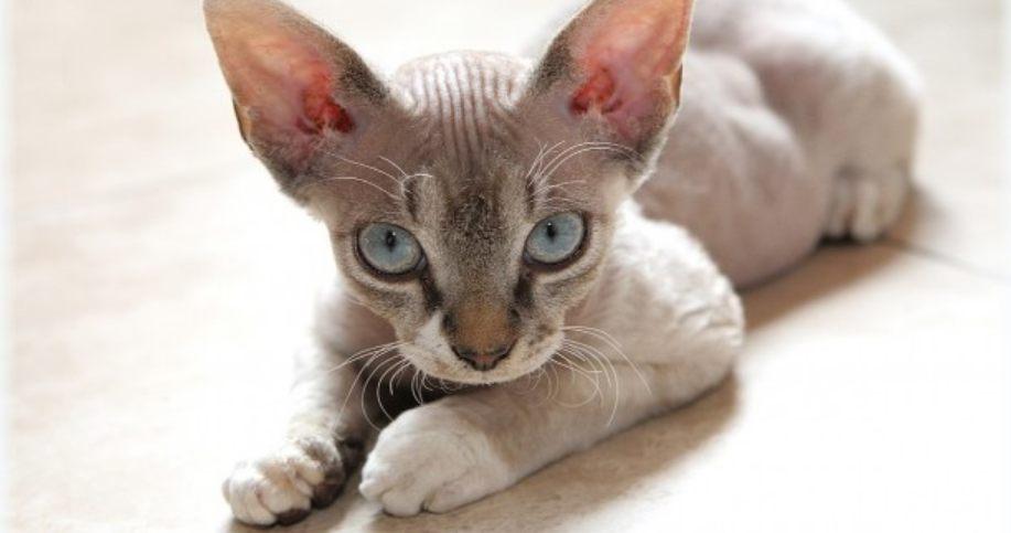 Kucing Rex Devon