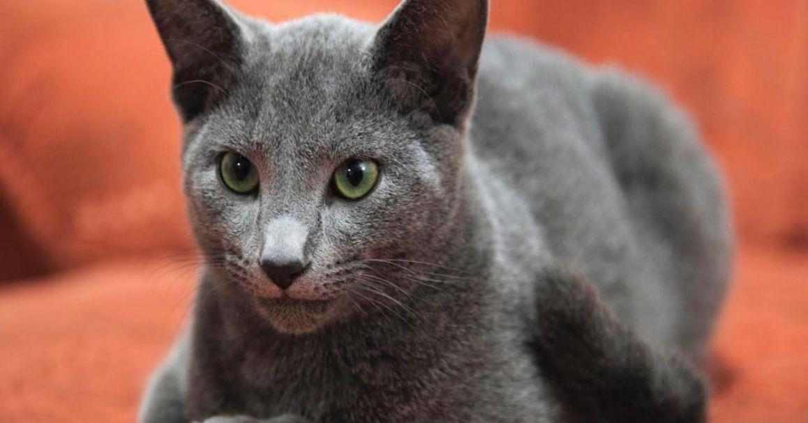Kucing Tercantik di Dunia