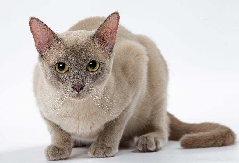 Kucing Tongkinese
