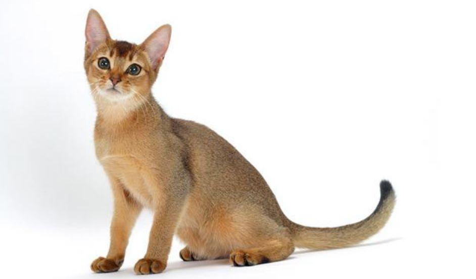 Kucing tercantik di dunia Kucing Abissinian