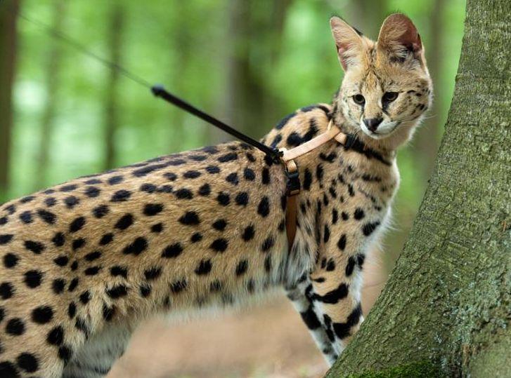 Kucing tercantik di dunia Kucing Savannah
