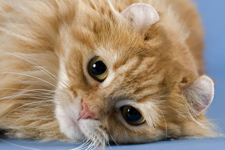 Kucing tercantik di dunia Kucing Telinga Ikal Amerika