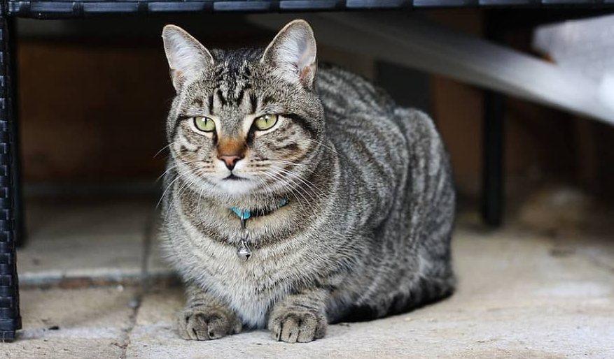Langkah Merawat Kucing Kampung dengan antisipasi kucing kampung keracunan