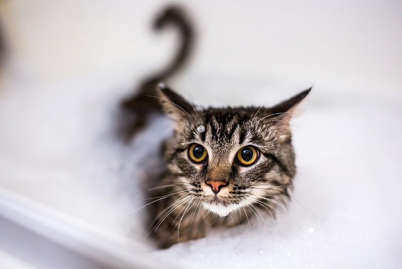 Langkah merawat kucing kampung dengan Memandikan Kucing Kampung