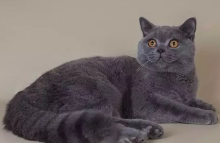 Makanan Kucing British Shorthair
