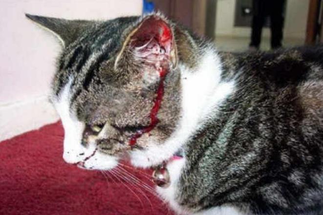Manfaat VCO untuk kucing Menyembuhkan luka