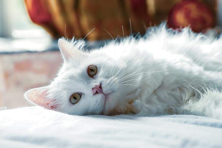 Manfaat Vitamin Bulu Kucing