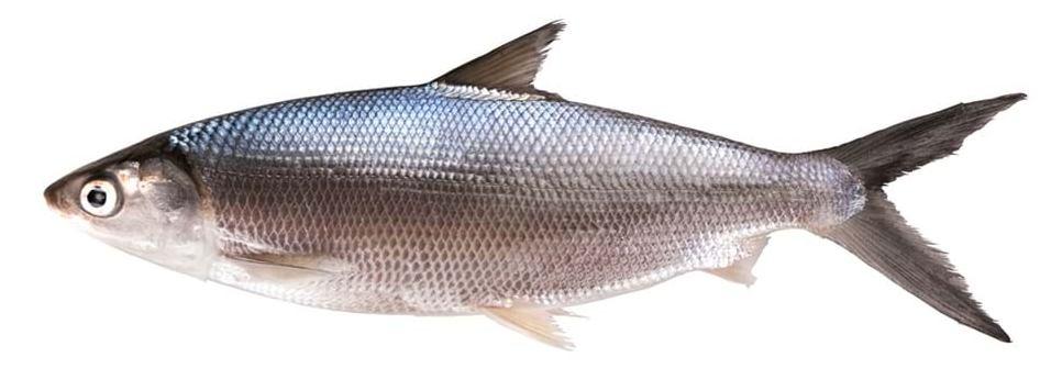 Mengolah Makanan Kucing dari Ikan bandeng