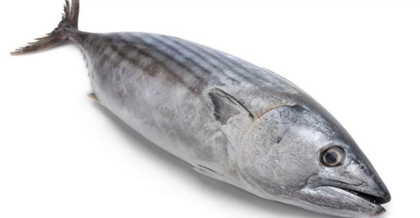 Mengolah Makanan Kucing dari Ikan tongkol