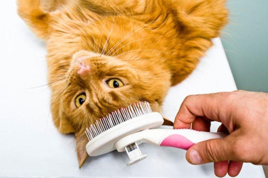 Menyisir bulu kucing untuk persiapan memandikan anak kucing