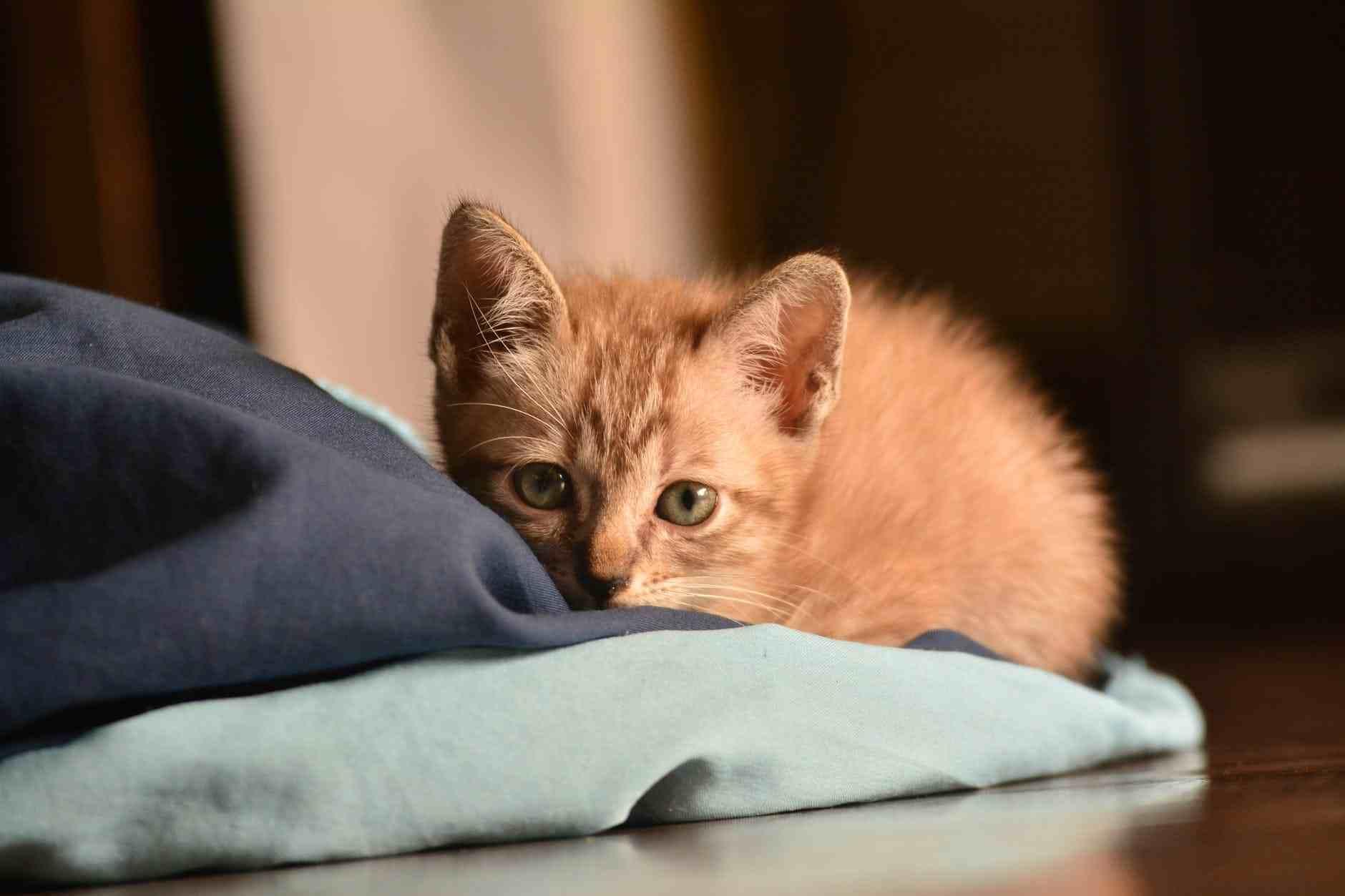 Pastikan dan jaga anak kucing agar selalu hangat