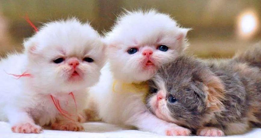Perlakuan Untuk Anak Kucing Usia 1 Bulan minggu pertama