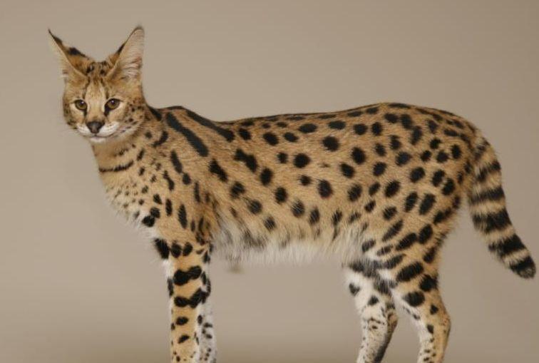 Sejarah kucing savannah