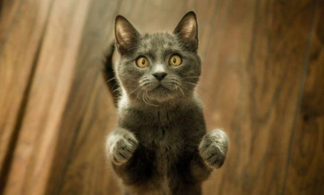 cara memanggil kucing